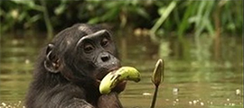 congo-safari-tour-to-wild-bonobos