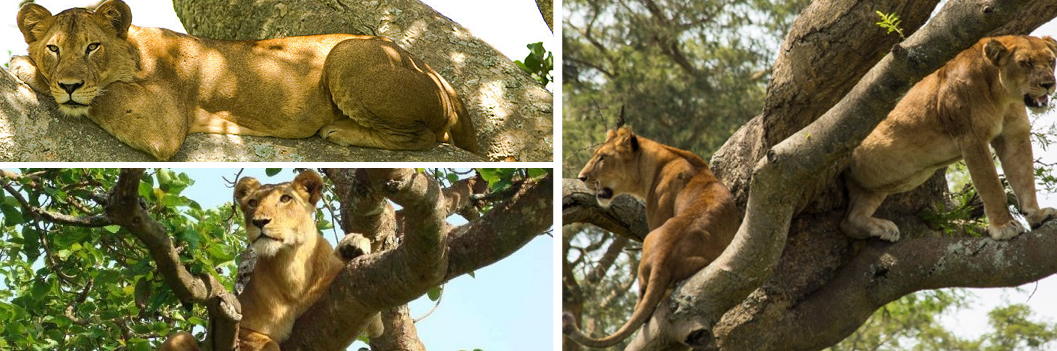 tree-climbing-lions-in-ishasha-wildlife-safaris-uganda