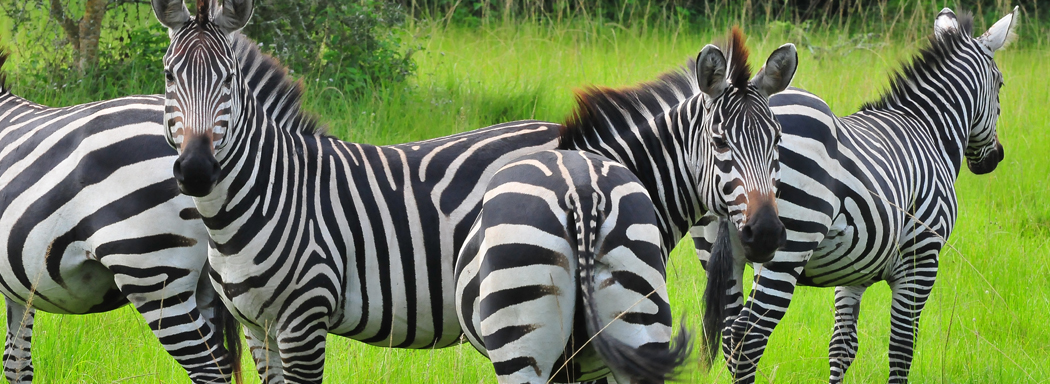 zebra-in-mburo