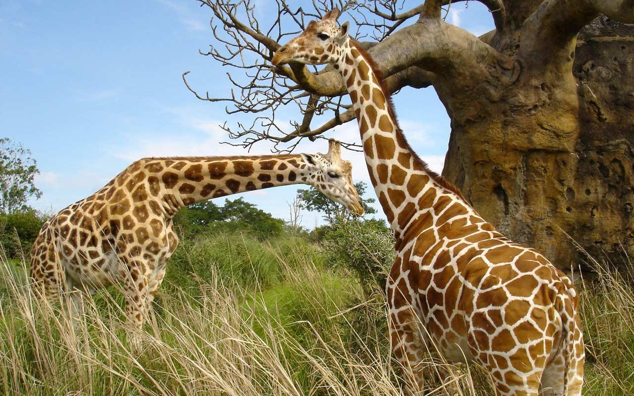 Giraffes at Akagera national Park Rwanda
